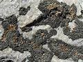 Caloplaca adnexa^ on Aspicilia sp. - Flickr - pellaea.jpg