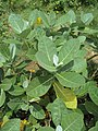Calotropis gigantea - Crown Flower at Peravoor 2014 (16).jpg