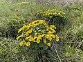 Caltha palustris Marsh-marigold kingcup (bekkeblom soleihov) wetland brook (våtmark bekk) Pirane, Hvasser, Oslofjorden, Norway 2021-05-14 IMG 9870.jpg