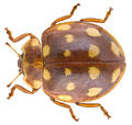 Calvia quatuordecimguttata (Linné, 1758).png