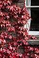 Cambridge - Japanese Creeper - 1315.jpg