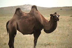 https://upload.wikimedia.org/wikipedia/commons/thumb/8/83/Camel_in_Mongolia.jpg/250px-Camel_in_Mongolia.jpg