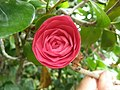 Camellia japonica L.jpg