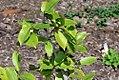 Camellia oleifera 3zz.jpg