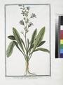 Campanula, radice esculenta, flore coeruleo - Rapunzolo - Campanule. (Edible bell flower) (NYPL b14444147-1125002).tiff