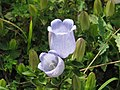 Campanula incurva - Flickr - peganum (2).jpg