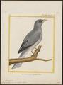 Campephaga papuensis - 1700-1880 - Print - Iconographia Zoologica - Special Collections University of Amsterdam - UBA01 IZ16500375.tif