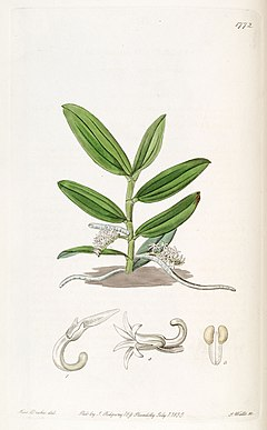 Campylocentrum micranthum (as syn. ''Angraecum micranthum'') - Edwards vol 21 pl 1772 (1836).jpg