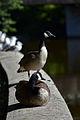 Canada Geese (Branta canadensis) - Guelph, Ontario 01.jpg