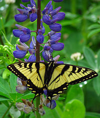Canadian Tiger Swallowtail on Wild Lupine.jpg