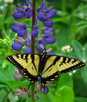 Lupinus - Canadian tiger swallowtail on wild perennial lupine, Gatineau, Quebec