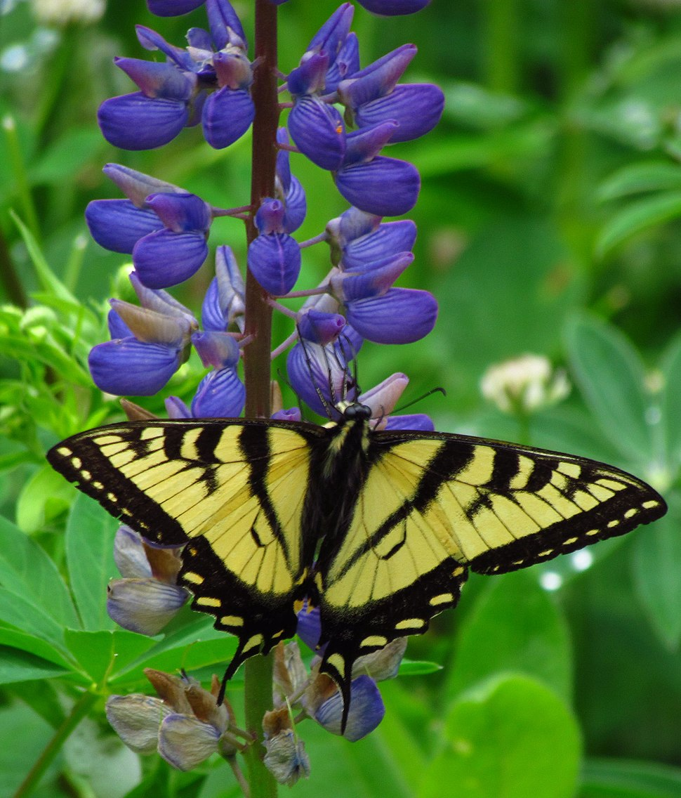 Canadian Tiger Swallowtail on Wild Lupine