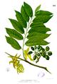 Cananga odorata Blanco1.221.png
