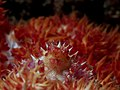 Candy crab (Hoplophrys oatesi) (14413521923).jpg