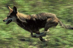 Red wolf running.
