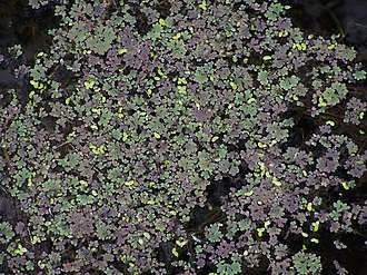 Azolla - Azolla on the Canning River, Western Australia
