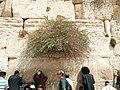 Capers Western Wall Jerusalem.jpg