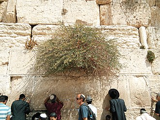 Caper - A caper bush on the Western Wall of Jerusalem's Temple Mount