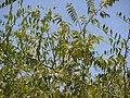 Capparis sepiaria (8630683561).jpg