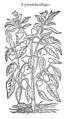 Capsicum latis siliquis 705 Dodoens 1583.png