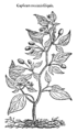 Capsicum minimis siliquis 705 Dodoens 1583.png