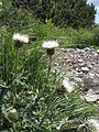 Carduus defloratus ssp. defloratus - Košutica (2).jpg