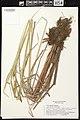 Carex aquatilis herbarium (06).jpg