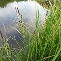 Carex aquatilis plant (03).jpg
