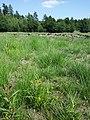 Carex bohemica sl28.jpg