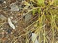 Carex extensa (13).jpg