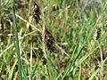 Carex limosa inflorescens (10).jpg