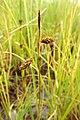 Carex limosa inflorescens (12).jpg