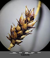 Carex melanostachya sl46.jpg