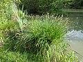 Carex paniculata sl5.jpg
