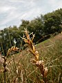 Carex pseudobrizoides inflorescens (3).jpg