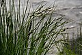 Carex utriculata Lake-margin sedge Hamilton Lake.jpg