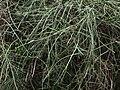 Carmichaelia.arborea.shrubbery.jpg