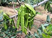 Carob tree unripe pods in majorca arp.jpg