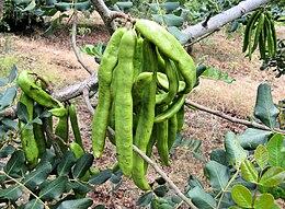 Carob tree unripe pods in majorca arp