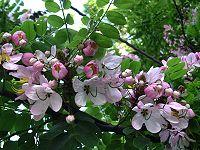 Cassia javanica, closeup