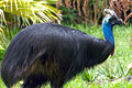 Cassowary at the Houston Zoo.jpg