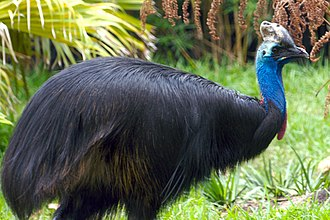 Houston Zoo - Image: Cassowary at the Houston Zoo