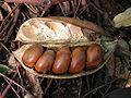 Castanospermum australe (Black Bean).jpg