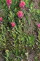 Castilleja parviflora 1283.JPG