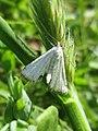 Cataclysta lemnata (Crambidae) - (imago), Elst (Gld), the Netherlands.jpg