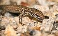 Catalonian Wall Lizard (Podarcis liolepis cebennensis) juvenile (20004828748).jpg