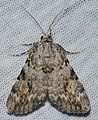 Catocala amica – Girlfriend Underwing Moth? -1 from 7-6-14 (14436290718).jpg