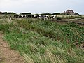 Cattle at Sandwich Bay - geograph.org.uk - 995649.jpg