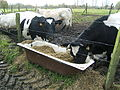 Cattle eating corn silage.jpg