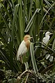 Cattle egret (Bubulcus ibis) from Ranganathittu Bird Sanctuary JEG4302.JPG